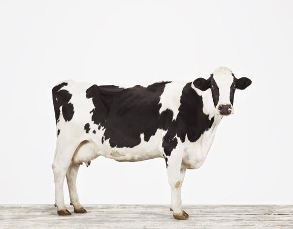 ©Sharon-Montrose-Cow