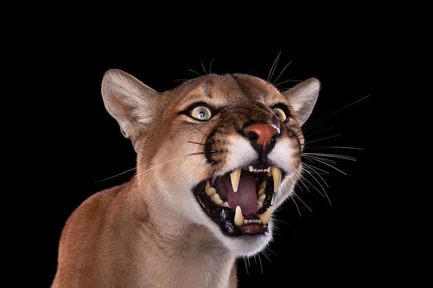 Brad Wilson - Mountain Lion