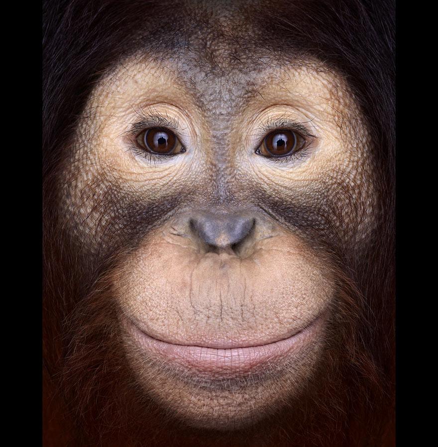 Brad Wilson - Orangutan