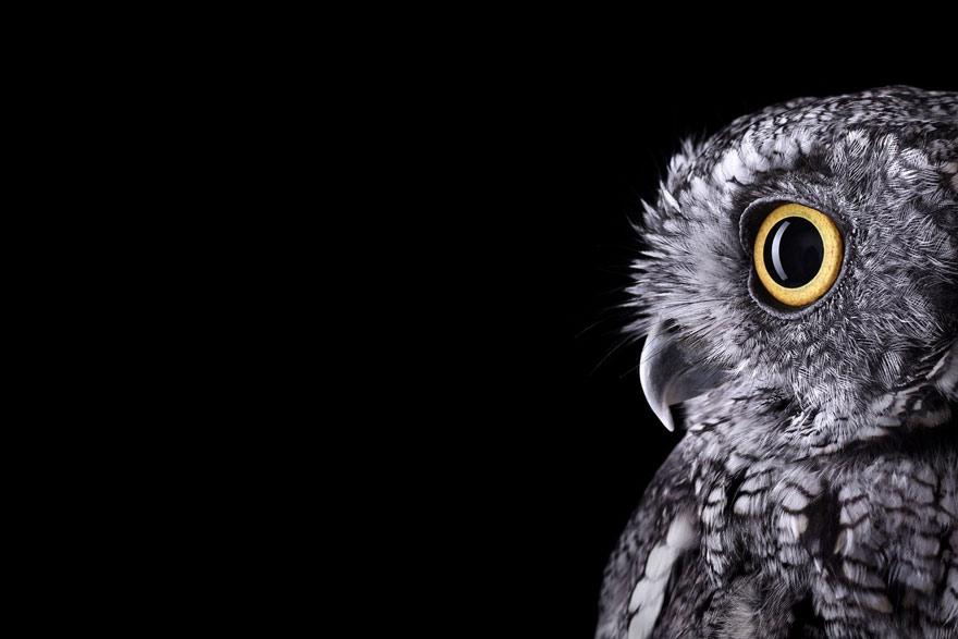 Brad Wilson - Western Screech Owl